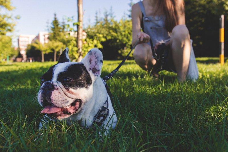 black-and-white-french-bulldog-lying-on-green-grass-171297.jpg